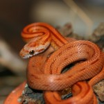 Corn Snake - Crazy Creatures North East - Mobile Petting Zoo