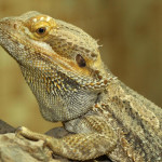 Bearded Dragon - Mobile Petting Zoo - Crazy Creatures North East