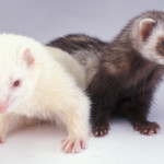 Ferrets - Crazy Creatures North East - Mobile Petting Zoo