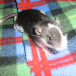 Hooded Rat - Crazy Creatures North East - Mobile Petting Zoo