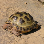 Horsefield Tortoise - Crazy Creatures North East - Mobile Petting Zoo